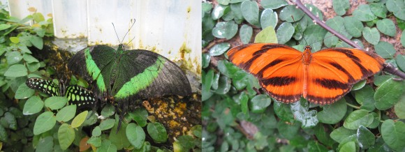 From left: tailed jay, emerald swallowtail, banded orange heliconian