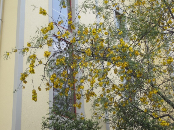 Kowhai at the University of Otago Executive Residence, Forth Street