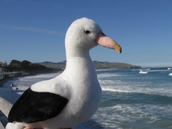 Ross the Royal Albatross