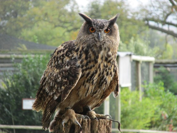 Thumper the European Eagle Owl, Cotswold Falconry Centre, Batsford