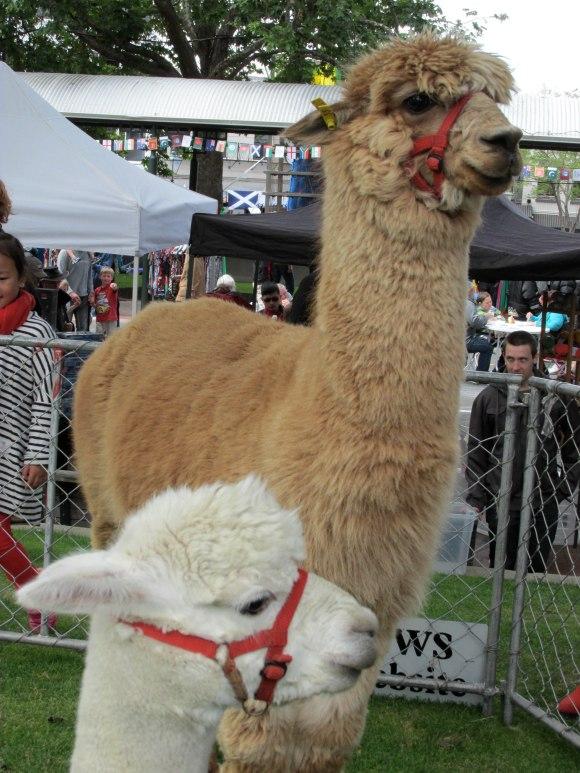 Flagstaff Alpacas